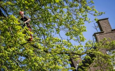In april vorig jaar spanden medewerkers van Pius Floris Boomverzorging uit Vught extra staalkabels tussen de takken om de veiligheid van de zieke boom te verbeteren. De gemeente Boxtel heeft woensdag besloten dat de boom binnenkort wordt gekapt. (Foto: Peter de Koning).
