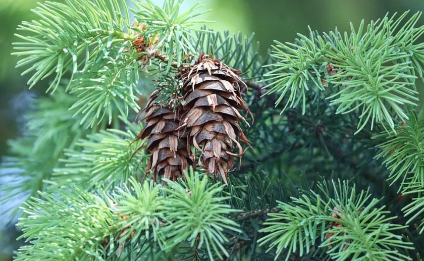 St. Willibrordus uit Esch heeft weer haar jaarlijks terugkerende kerstbomenverkoop.