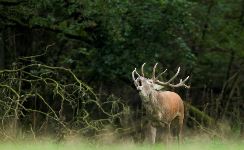 Van 25 september tot en met 26 oktober zijn er elke woensdag- en zaterdagavond excursies naar de herten. Foto: Harry Fiolet