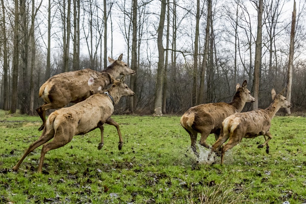 Dertien edelherten, inclusief deze op de foto, werden in maart 2017 losgelaten in natuurgebied De Scheeken om te zorgen voor meer biodiversitei. Inmiddels heeft de groep zich uitgebreid en zijn er diverse roedels. (Foto: Peter de Koning).  ©