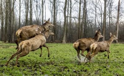 Dertien edelherten, inclusief deze op de foto, werden in maart 2017 losgelaten in natuurgebied De Scheeken om te zorgen voor meer biodiversitei. Inmiddels heeft de groep zich uitgebreid en zijn er diverse roedels. (Foto: Peter de Koning).