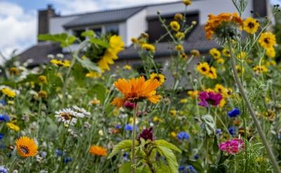 q De bloemenweitjes in Boxtel trekken insecten aan en zijn mooi om te zien, zoals hier in een plantsoen aan de Robert Schumanlaan in de wijk Oost. (Foto: Peter de Koning).