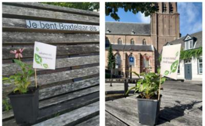 Op tal van plekken in Boxtel tref je vandaag zulke plantjes aan.