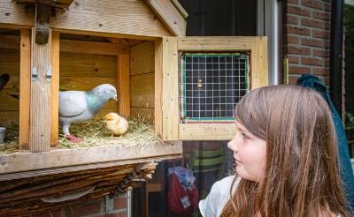 <p>&nbsp;Daags nadat haar duiven Armando en Sara een kippenei hadden uitgebroed, toonde Fien Bleumink het kuiken Mosterd eind juni aan de fotograaf van deze krant. Inmiddels is Mosterd al flink gegroeid. &nbsp;</p>