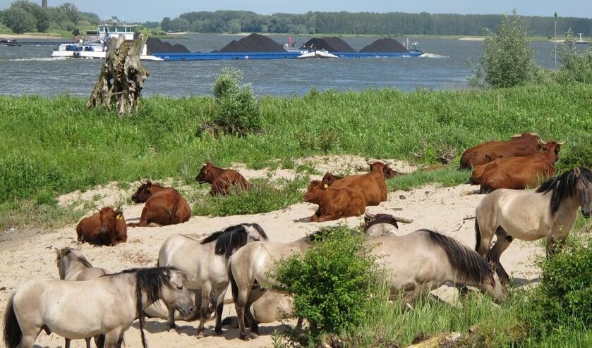 <p>Runderen en paarden elders langs de Waal.</p>