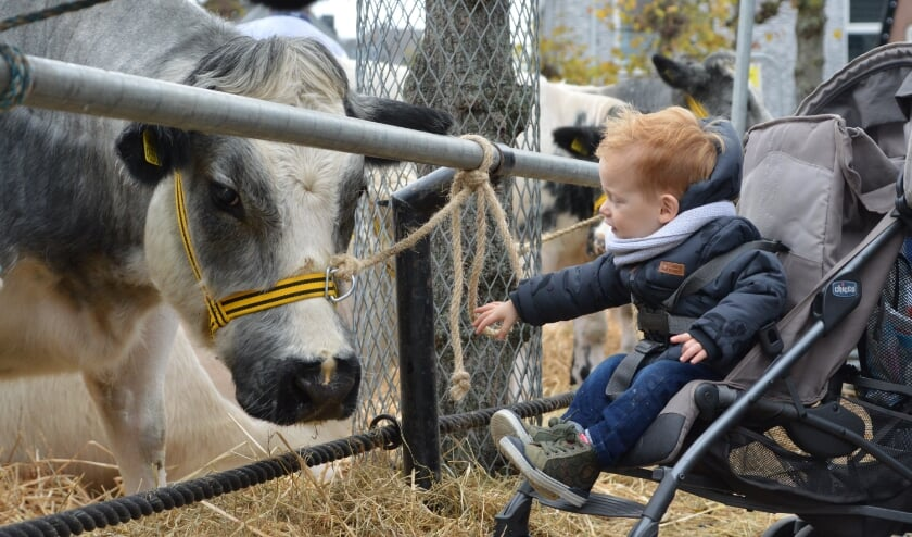 Koeien aaien is er voor de kleintjes niet bij dit jaar.