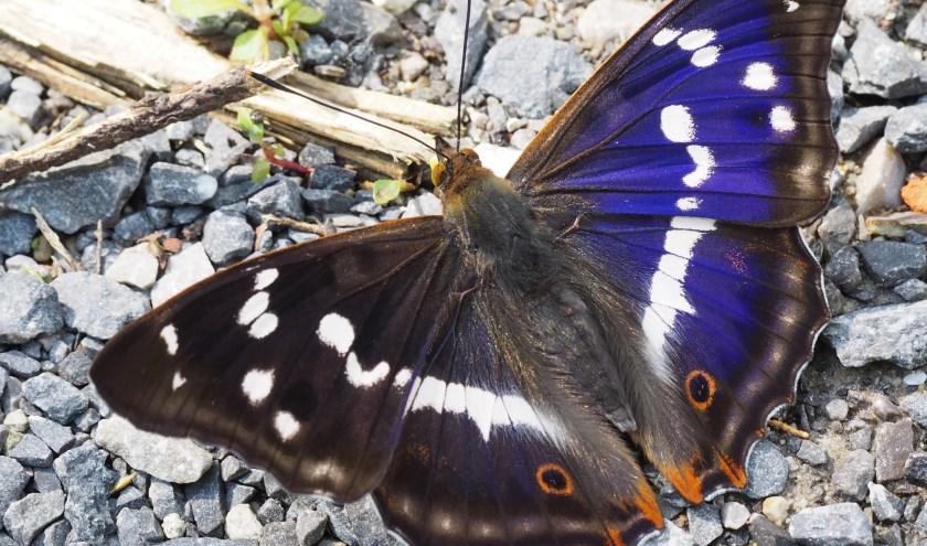 Grote weerschijnvlinder, foto: Wiel Zentjens