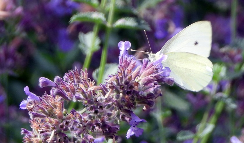 Dit jaar een halvering van het aantal getelde vlinders.