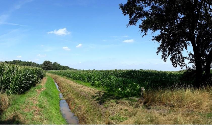 Maisvelden.  Foto Jan de Bruijn