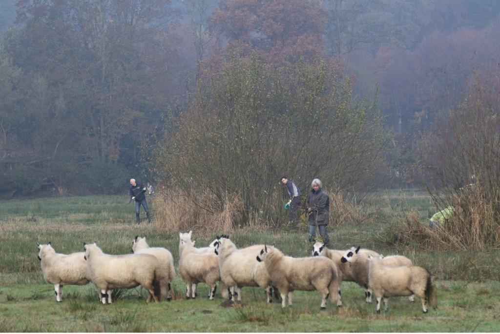 Vijftig vrijwilligers snoeiden zaterdag de struiken uit de Grunsfoortweide weg, zodat het natuurgebied open blijft. Zeldzame planten van het natte beekdal krijgen zo een kans zich er te vestigen. De schapen zorgen met hun grazen voor variatie in het terrein.  © BDU Media
