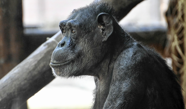 <p>Chimpansee Kokkie (op archieffoto ter illustratie).</p>