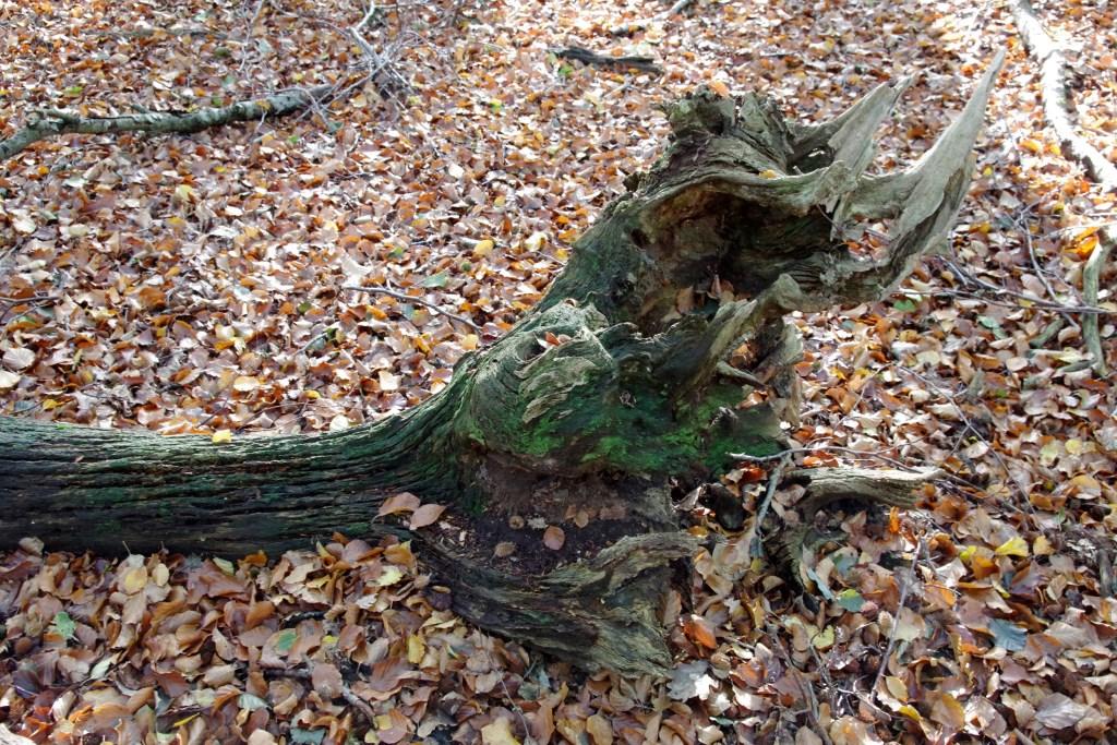 Het Speulderbos was vroeger een eikenhakhoutbos, dat kun je zien aan de dikke oude stronken van omgevallen dode eiken. Gerrit de Graaff © BDU media