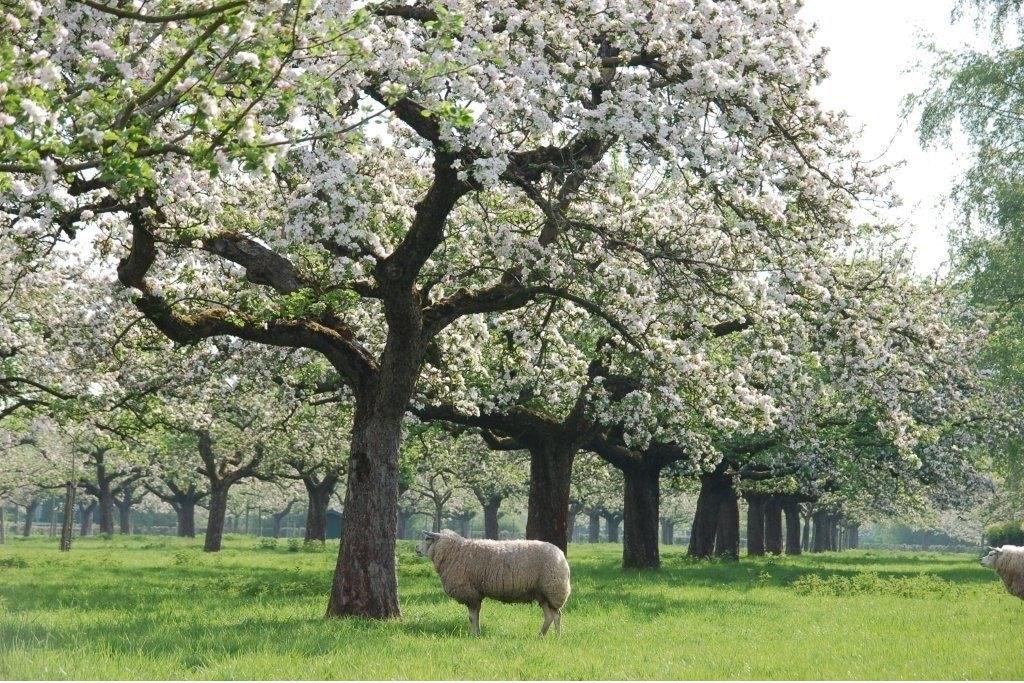 De Hordenboomgaard in volle voorjaarsbloei en ... op z'n mooist Hordenboomgaard © BDU media