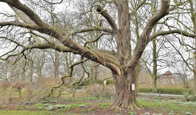 De zeker 110 jaar oude boom.