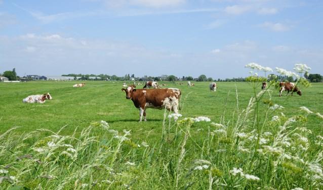 Koeien in de Bovenkerkerpolder. Tijdens de Amstellanddag zetten verschillende boeren de staldeuren open voor het publiek.