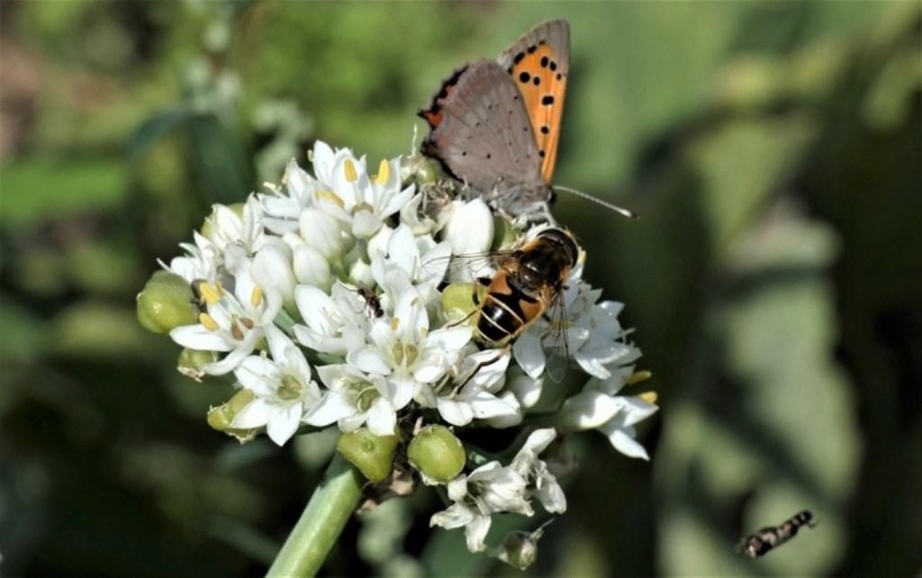 Zomers genot! Zomervliegers, in een 'open tuin' tussen Hoornaar en Noordeloos. Ida Samplonius © BDU Media