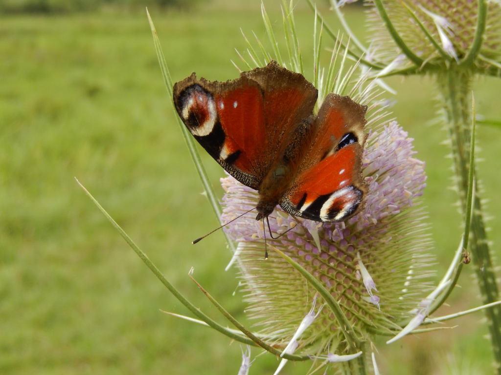 Dagpauwoog. Vlinderstichting © BDU media