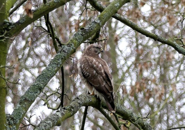 Buizerd in Haarlemmermeerse Bos