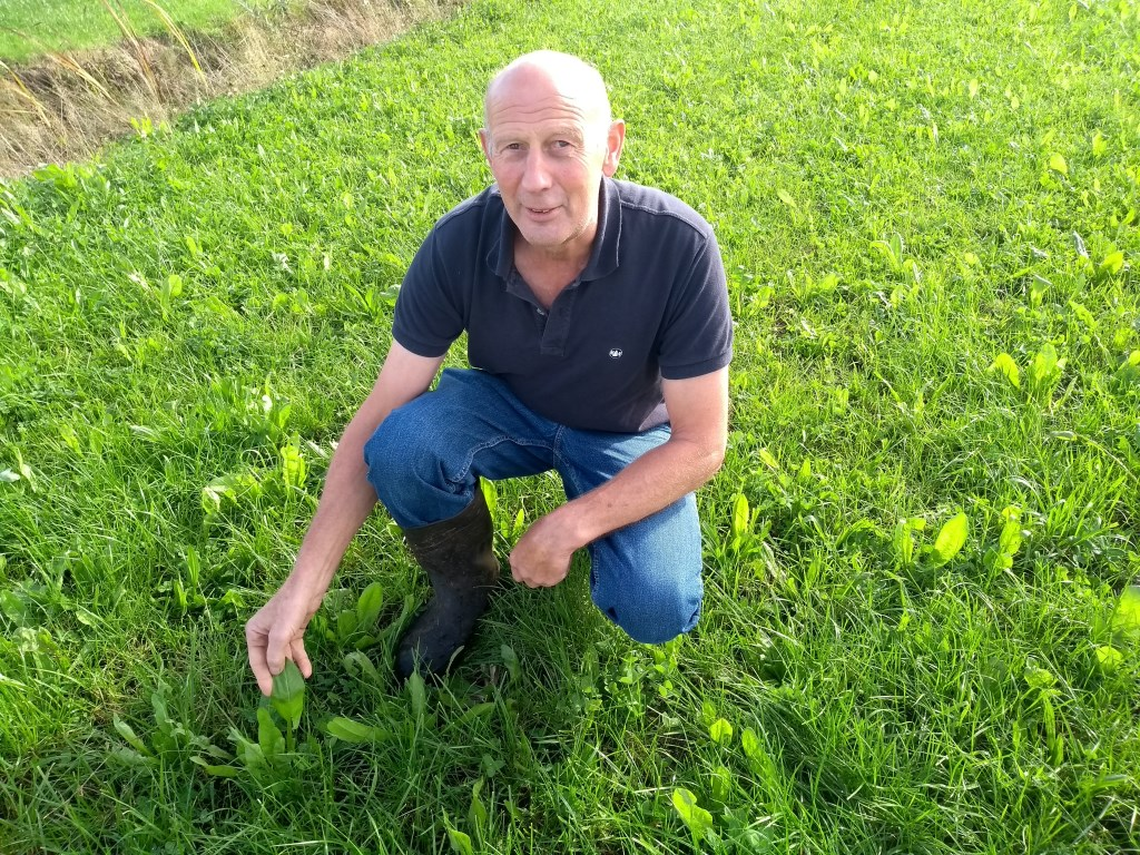 Wim van den Hengel: Kijk. Cichorei. Ik heb de indruk dat dit plantje Ridderzuring verdringt.''