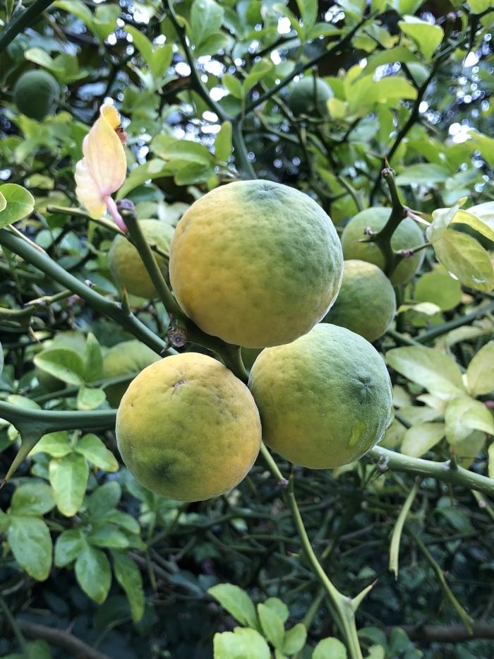 Limoenen in Cantonspark Hennie Prinsen © BDU media