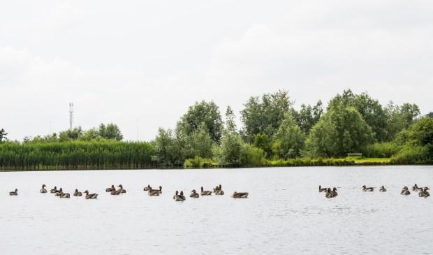 Watervogels bij Ouderkerkerplas.