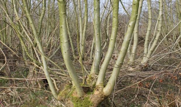 Essenhakhout op landgoed Kolland is een voor Bunnik nabij Natura 2000 gebied
