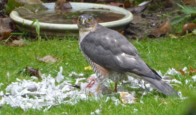 Havik verslindt een duif