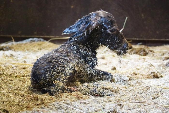 Mini-ezeltje net geboren DierenPark Amersfoort © BDU media