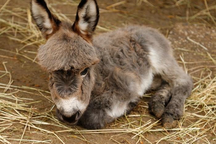Mini-ezeltje Bonnie DierenPark Amersfoort © BDU media