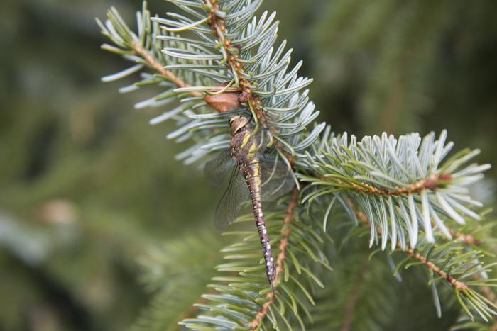 De kerstbomen zijn van het soort Servische spar