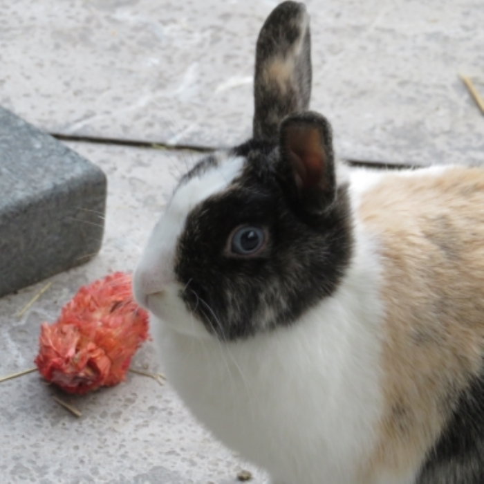 Vermiste 3 kleur konijn Kozakkenweg  Putten