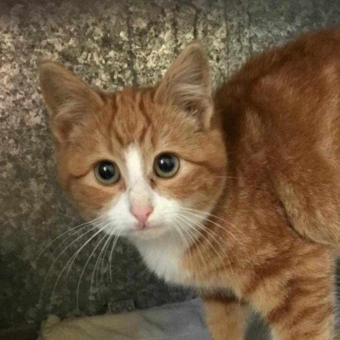 Gevonden kitten Langshanlaan Barneveld vinder © BDU media