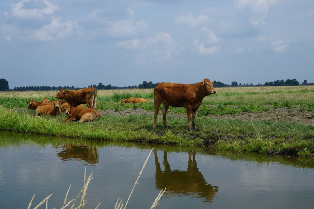 Amstelland: op tien minuten van de stad oog in oog staan met een koe..  NH © BDU media