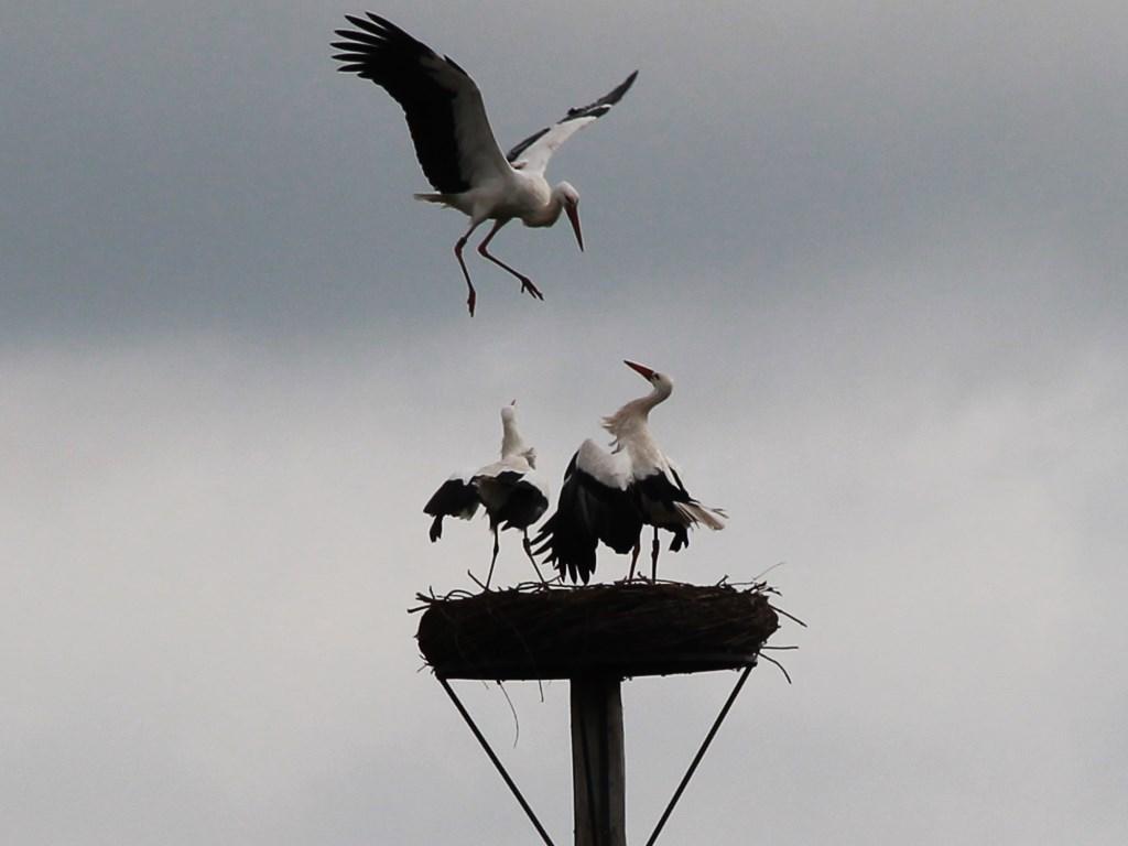 Ooievaar Piet opent de aanval op de stoutmoedige Stork die hij bij zijn vrouw in het nest aantrof. Ronald Verbeek © BDU media