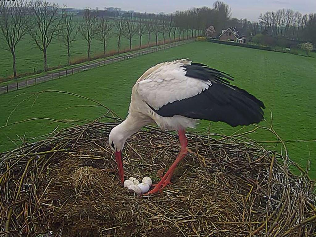 Juffrouw ooievaar legt haar 5 eieren dicht bij elkaar. Thijs Koppers © BDU media