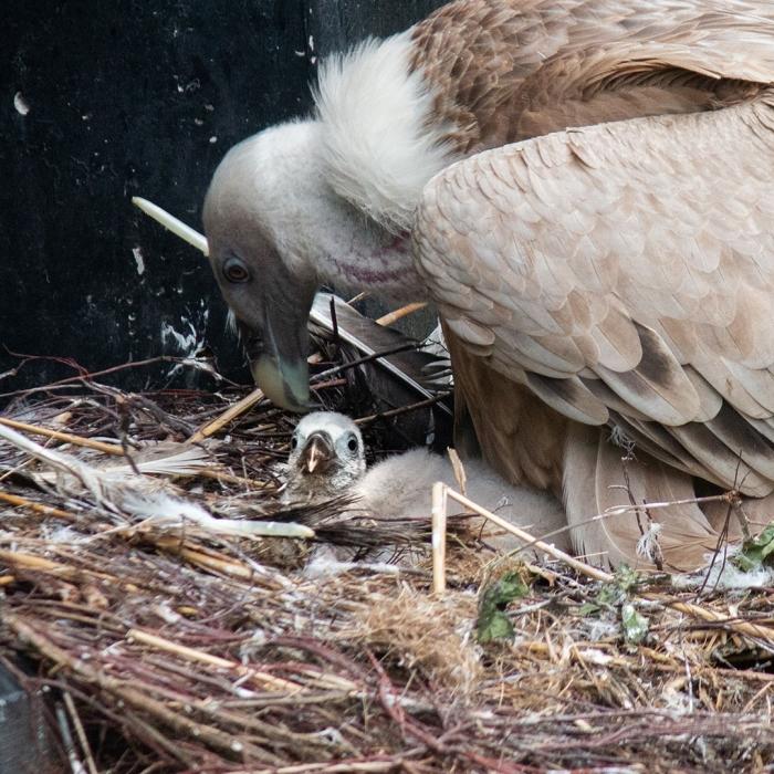 Gierenkuiken DierenPark Amersfoort © BDU media