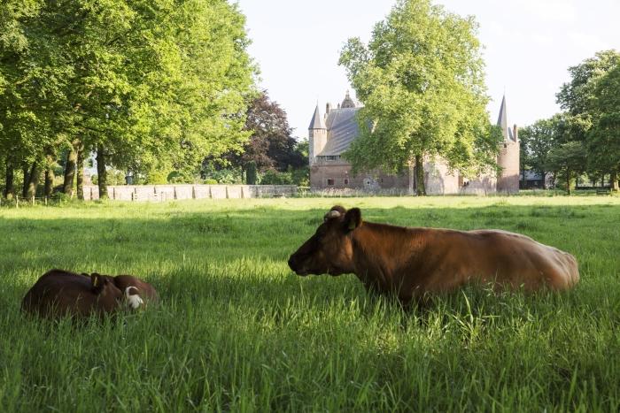 Hernen, koeien