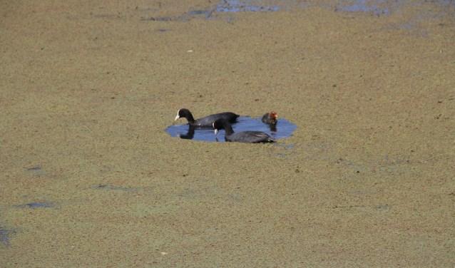 Een dikke laag Kroosvaren: watervogels kunnen niet meer fourageren en raken opgesloten.