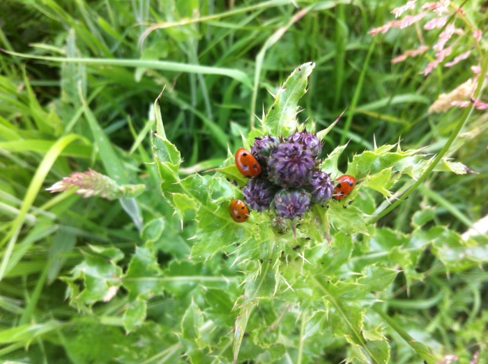 Drie lieveheersbeestjes te gast bij een Kruldistel