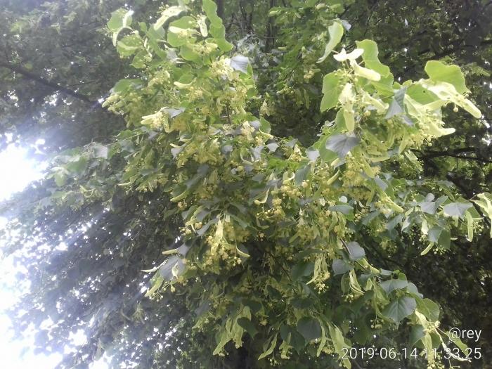 Lindebomen Singel Roel Eijgenraam © BDU media