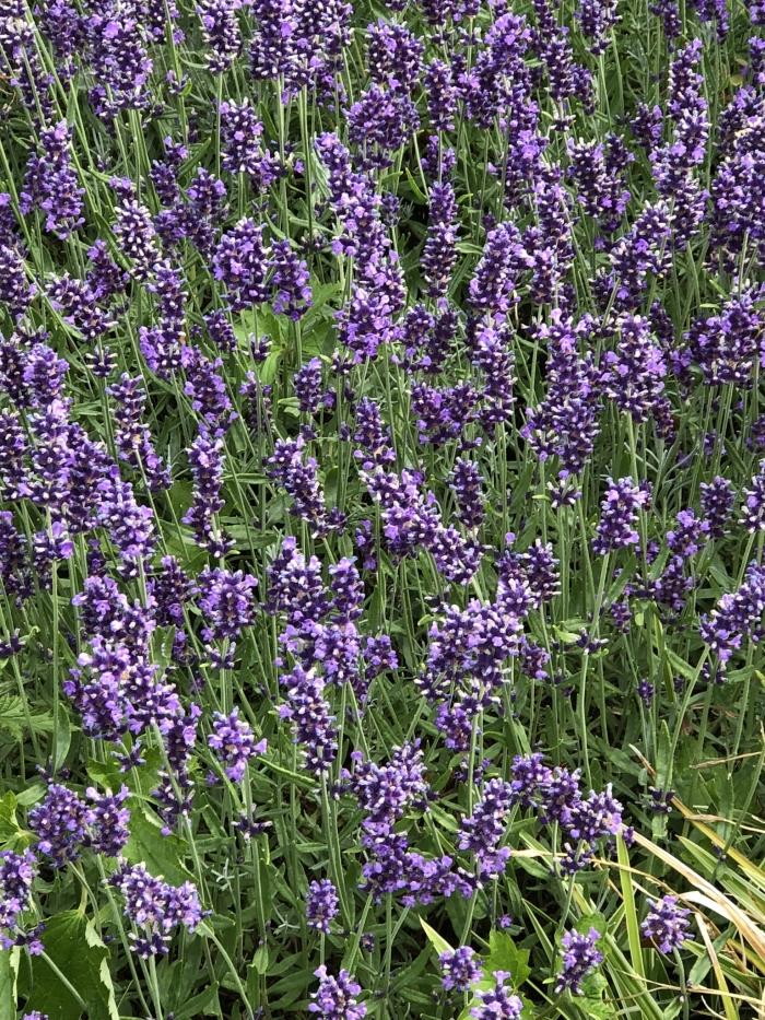 Lavendel Hennie Prinsen © BDU media