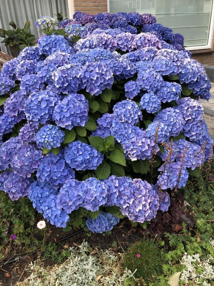 De blauwe Hortensia Hennie Prinsen © BDU media