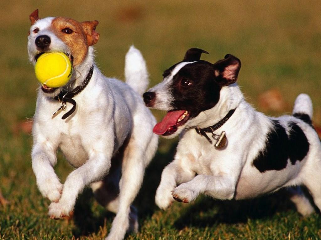 Honden moeten kunnen spelen om gezond te blijven. Richard Thoolen © BDU media
