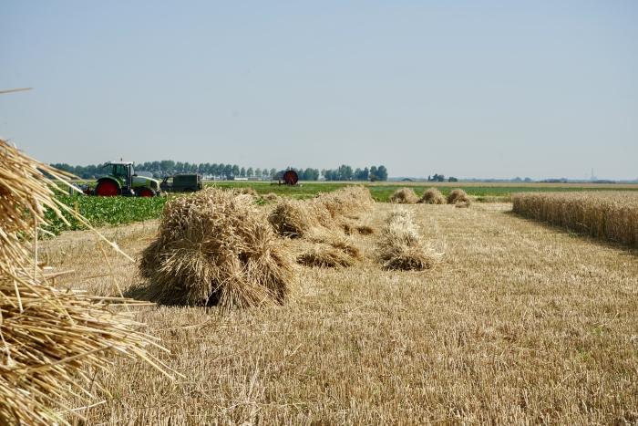 De oogst staat er schitterend bij.