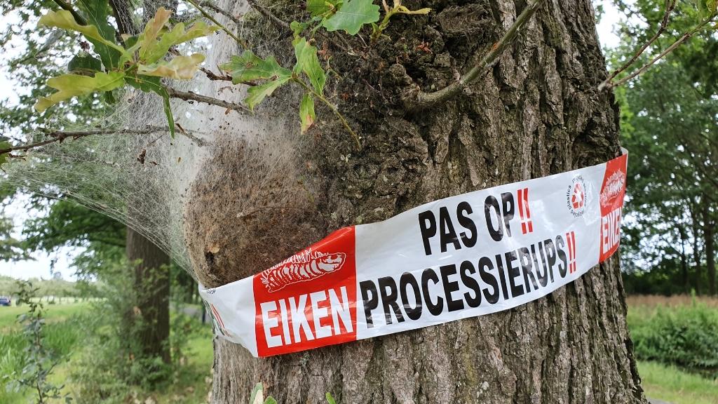 Bomen die aangetast zijn door de iekenprocessierups worden gemarkeerd met een roodwit lint Irene van Valen © BDU media