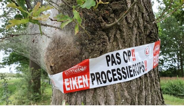 Bomen die aangetast zijn door de eikenprocessierups worden gemarkeerd met een roodwit lint