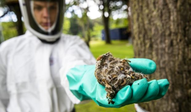 ZEIST - Een boom vol met eikenprocessierupsen wordt onder handen genomen door een bestrijder.