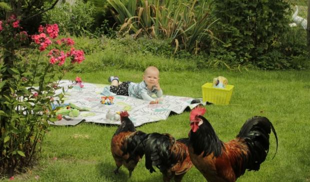 ,,Bij opa en oma in de tuin in Terschuur. De hanen houden de wacht.'' Ingezonden door Willy Tolboom uit Terschuur.