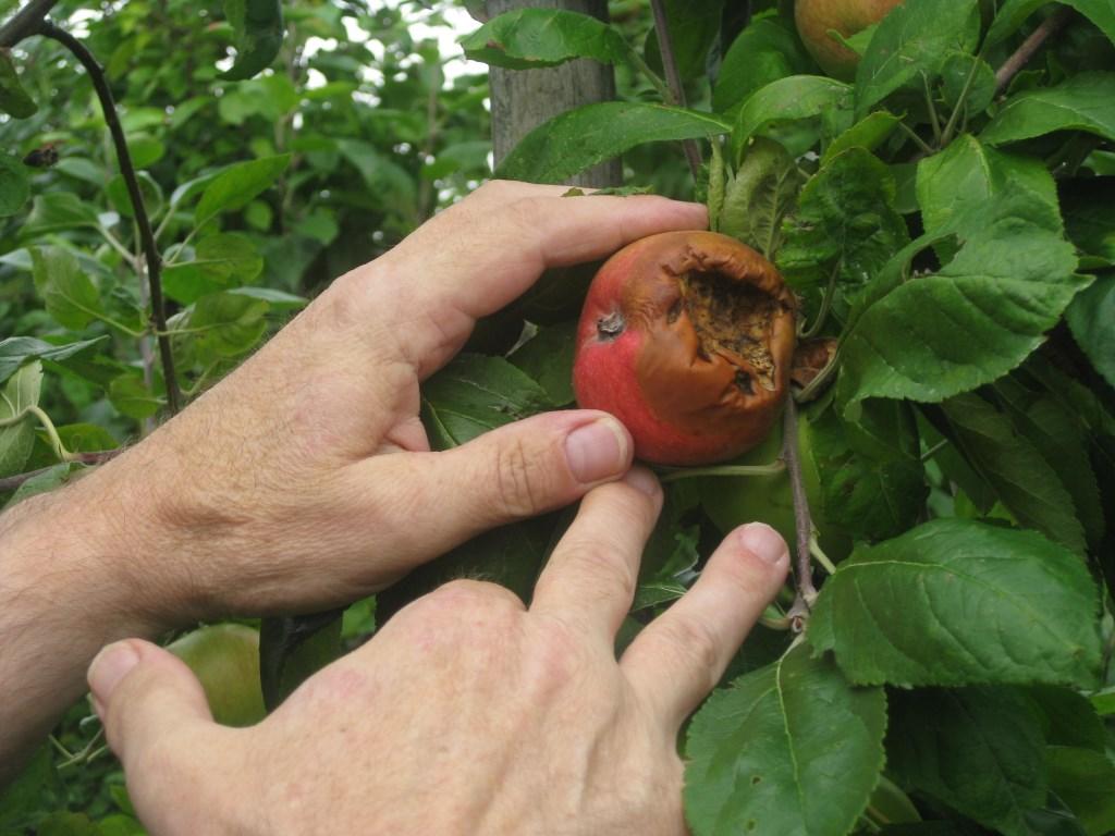 De halsbandparkiet is dol op appels en peren. Dick de Jong © BDU media
