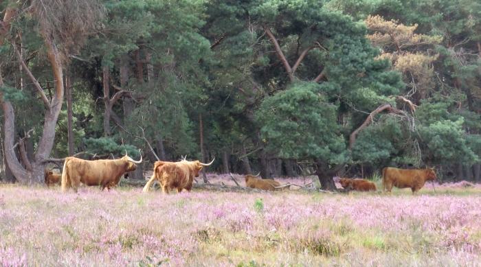 Zuiderheide (Hilversum) met  de prachtige Koeien Onno Wijchers © BDU media